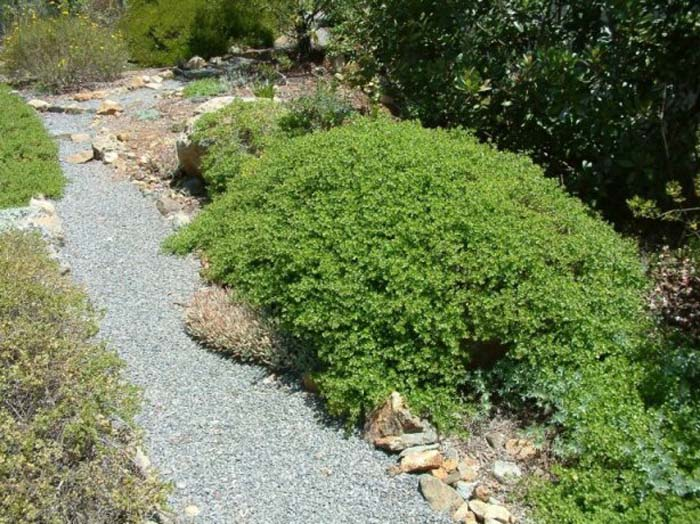 Plant photo of: Baccharis pilularis