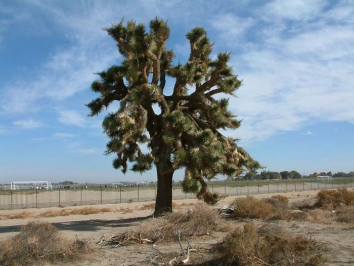 Plant photo of: Yucca brevifolia