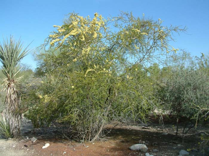 Plant photo of: Acacia rigidula