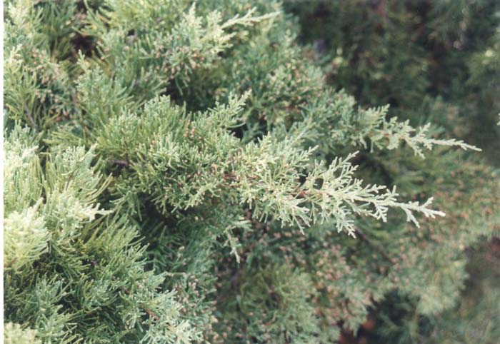 Plant photo of: Juniperus chinensis 'Pfitzeriana Glauca'