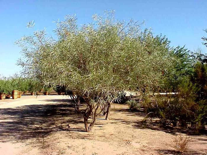 Plant photo of: Acacia coriacea