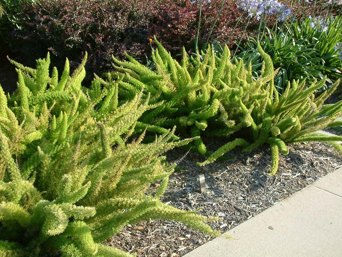 Plant photo of: Asparagus densiflorus 'Myers'