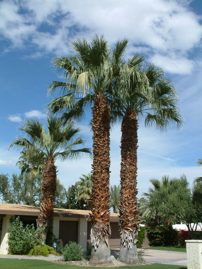 Plant photo of: Washingtonia filifera